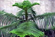 Grow a living Christmas tree with Norfolk Island Pine: University of Illinois Extension Tall Indoor Plants, Norfolk Pine, Lower Lights, House Plant Care, Evergreen Trees, How To Grow Taller, Ornamental Plants, Begonia, Horticulture