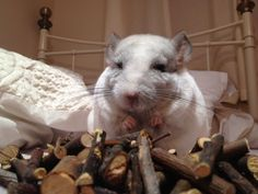 White chinchilla looking super happy because he's found a big pile of chew sticks.