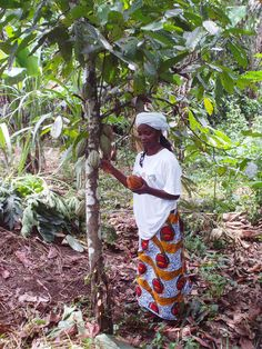 Cacao grows well in the Liberian forests.