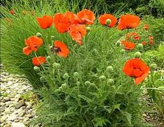 red poppy plant in garden - Google Search
