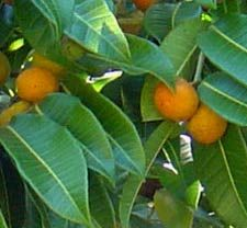 Ramon or  Bread Nut Tree is a valuable resource for the Maya people