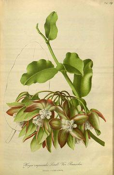 Hoya imperialis Lindl. var. rauschii Gartenflora [E. von Regel], vol. 4: t. 134 (1855)