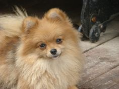 Pomeranian. that face is irresistible!