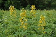 Prairie Moon Nursery :: Seeds :: Senna hebecarpa (Wild Senna)