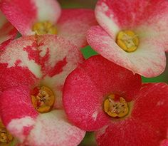 Saucer-like pink and cream Crown of Thorns blossoms and golden stamens Ice Cream Swirl, Euphorbia Milii, Crown Of Thorns, Exotic Flowers, Stems, Blossoms, Lush, Raspberry, Cactus