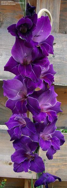 Púrpura mi color favorito