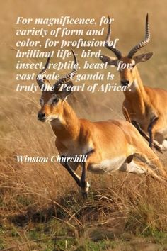 """For magnificence, for variety of form and color, for profusion of brilliant life — bird, insect, reptile, beast — for vast scale — Uganda is truly the 'Pearl of Africa'."" * Winston Churchill (Former Prime Minister of the United Kingdom) #travel #safari #Africa #quotes #sayings #inspirational #Uganda #kob #Churchill"