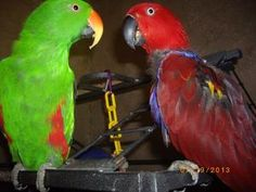 Dallas is an adoptable Eclectus Parrot in Chicora, PA. This is Dallas she is an 18 year old Female Solomon Islands Eclectus. She has been with his best friend Tony since she was very young, They are n...