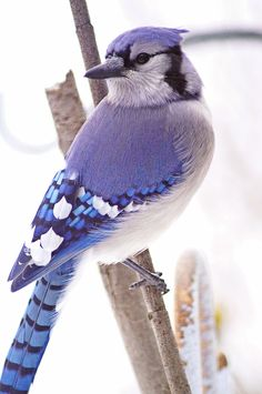 Blue jay - My winter friends, they brighten my yard and my spirits when everything else is brown. #(Excerpt)