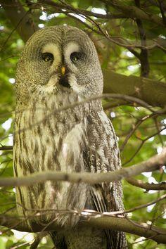 }{ Great Grey Owl | Flickr - Photo Sharing!