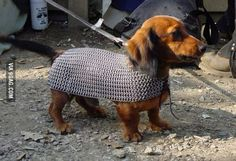 This is the cutest Weiner in chain mail I've ever seen.
