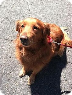 This is Kate - 9 yrs. She is spayed and current on vaccinations. 4 Luv of Dog Rescue, Fargo, ND. - http://www.4luvofdog.org/wp/dogs_available - https://www.facebook.com/4LODRescue - https://www.petfinder.com/petdetail/30189409/ - http://www.adoptapet.com/pet/11498189-fargo-north-dakota-golden-retriever