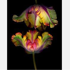 Wedding flowers ! Parrot tulips  JEN