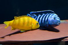 The first thing that I have to point out is that I'm not an expert on cichlids by anyone's definition, but I do consider myself to be an enthusiastic hobbyist who is lucky enough to be having my fair share of success. Cichlid Aquarium, Cichlid Fish, Tropical Freshwater Fish, Freshwater Aquarium Fish, Tropical Aquarium, Tropical Fish, African Cichlids, Malawi Cichlids, Cool Fish