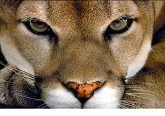 Eye to eye. #cats #eyes #cougar