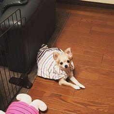 #chihuahua #hund #hundeliebe #decke Dogs, Animals, I Love Dogs, Animales, Animaux, Pet Dogs, Doggies, Animal, Animais