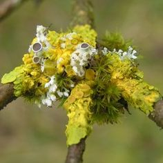 lichen and moss on a branch. Michiel Thomas