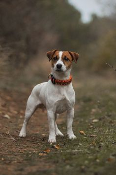 Jack Russell Terrier, Chien Jack Russel, Jack Russell Puppies, Rat Terriers, Terrier Dogs, I Love Dogs, Cute Dogs, Dog Photography, Happy Dogs
