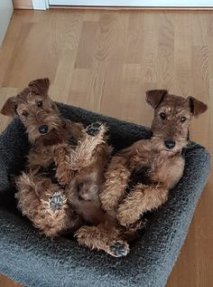 Fox Terriers, Terrier Breeds, Wire Fox Terrier, Airedale Terrier, Irish Terrier, Four Legged, Beautiful Dogs, Dog Life, Best Dogs