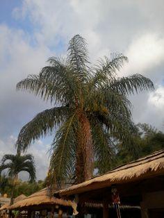 Palmeras en Guatemala