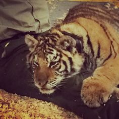 Bob the tiger eats 7-10 lbs of meat per day right now. He's on tour with Little Ray's Reptile Zoo out of Ottawa.