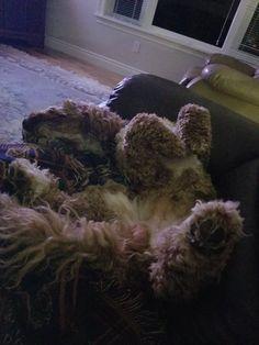 Australian Labradoodle Puppies, Shag Rug, Shaggy Rug, Blanket