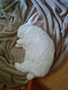Bunny sleeping smiling. Looks like my white manx cat Senor Bolitas!