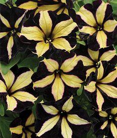 Petunia, Phantom  I need these in my garden this year!  Love love love