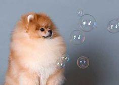 The Best Way to Clean Pomeranian Bedding #Pomeranian