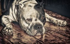 Beautiful Pit Bull in HDR by Larry Marshall Photography, via 500px