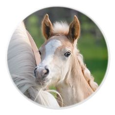 Haflinger Horse Cute Baby Foal Animal Photo on - Ceramic Knob - home gifts ideas decor special unique custom individual customized individualized