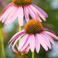 Purple Coneflowers tolerate clay soil and bloom from mid-summer to fall.  And they aren't just purple anymore!  Look for new varieties in yellow, orange, pink, and red!