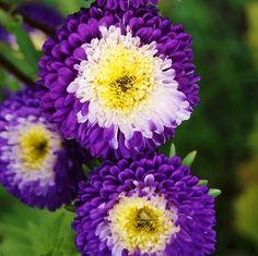 Aster Seeds (Pompon) - Blue and WhiteLike little bulls-eyes of color, our beautiful Blue and White Pompon Aster Seeds grow tall, stately stems that are perfect for cutting! Compact heads feature rings of color on long lasting blooms.