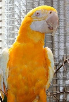 'Lutino' Blue and Gold Macaw.. i want one of every color! :D <3 https://www.pinterest.com/keymail22