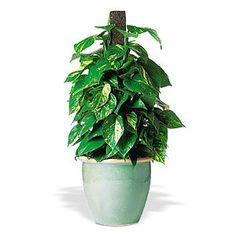 Pothos. I have several of these. Good for cleaning the air. Easily starts in water.