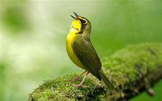 Оказва се, че песента на птиците ни носи не само удоволствие, но също така ни помага да се отпуснем и да се чувстваме в реално единство с природата. Днес много учени твърдят, че пеенето на птиците може да има благотворно…