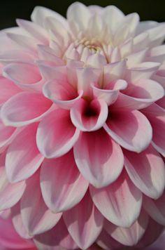 Pink Dahlia by Lama Abdo on 500px