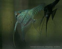 Pinoy Ken Kennedy Angelfish Zebra   Cobalt Blue Angelfish - Angelfish - 102154