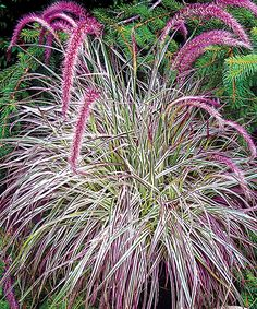 Cherry Sparkler Fountain Grass Plant