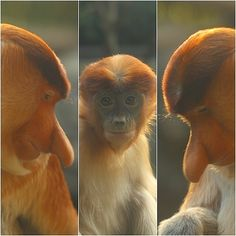 tengumonkey in zoorasia (yokohama japan)