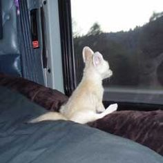 Milo, a Fennec Fox, watches the world zoom by from his perch in the RV. He is so cute!