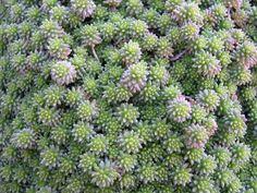 Sedum grisebachii - não dá flor mas parece