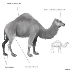 camel drawing step 3: for larger sections, use a large chalk brush and gently dab in light colors to depict muscles and bone structures. Constantly drawing with the chalk head will stack on cool textures that look like muscles, skin, or fur. For example, near the face, switch to a smaller chalk brush and dab in the chin structure. Then, switch to a darker tone to stroke in the nose and mouth openings. Aside from the size of the brush, everything comes to life using the same brush and…