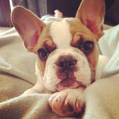 Sumo the #Frenchie. #frenchbulldog