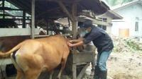 Distanak Kabupaten Bengkalis Lakukan Vaksinasi Jembrana - Amanah Anak Negeri