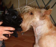 Black Scottish Terrier puppy with his wheaten dad