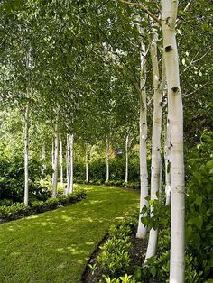 Garden Design Backyard Garden With White Birch Trees : Enchanting Beauty Birch Trees In Your Garden.Garden Design Backyard Garden With White Birch Trees : Enchanting Beauty Birch Trees In Your Garden White Birch Trees, Birch Forest, Trees With White Bark, Garden Trees, Garden Path, Flowers Garden, Shade Garden, Garden Kids, Garden Arbor