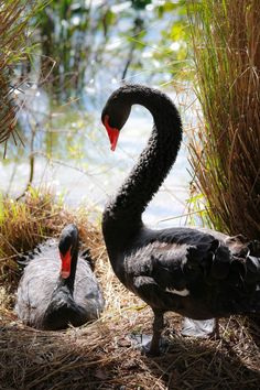 Black Swan family at the pond