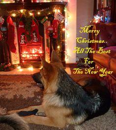 Merry Christmas German Shepherd Puppies Rebel her first christmas