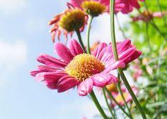 Flower, Marguerite, Pink, Blossom, Bloom